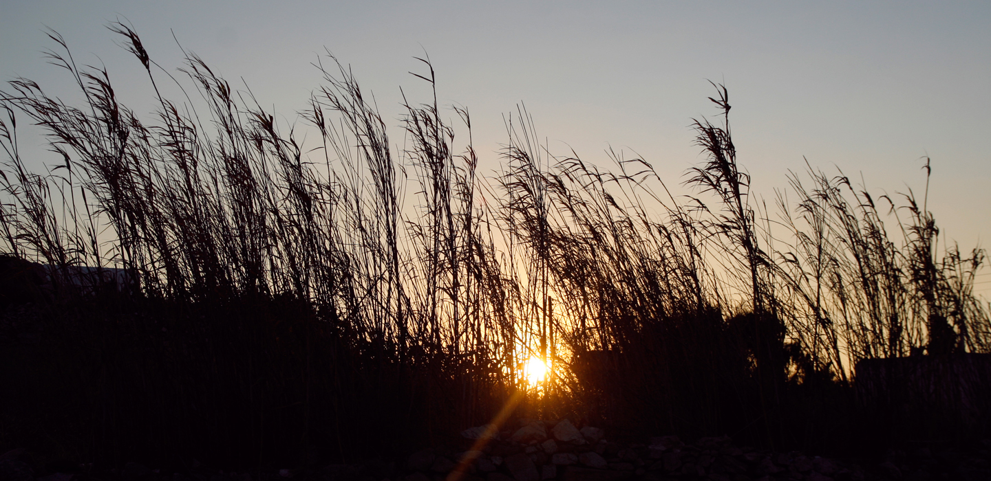 Sunset behind high grass