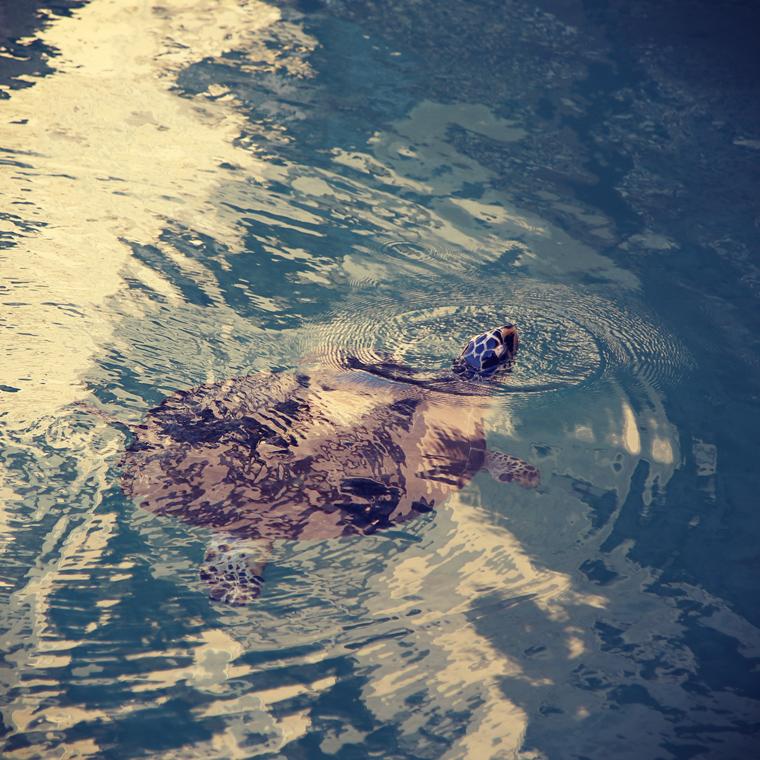 Morska kornjača u Dubaiju